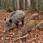 Sullo spinoso ed attuale argomento della caccia al cinghiale la Provincia di Isernia lo fa […]