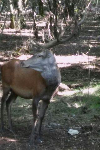 cervo oasi guardiaregia 2